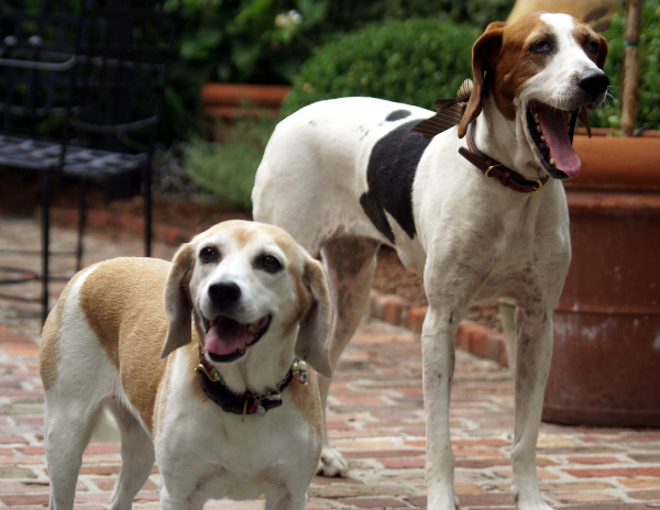 Charleston, SC, Lois Lane Properties, Dog Days of Summer, Charleston Dogs, Beagle, Hounds