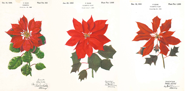 Poinsettia variations patented by the Eckes family. Image: US Patent & Trademark Office.